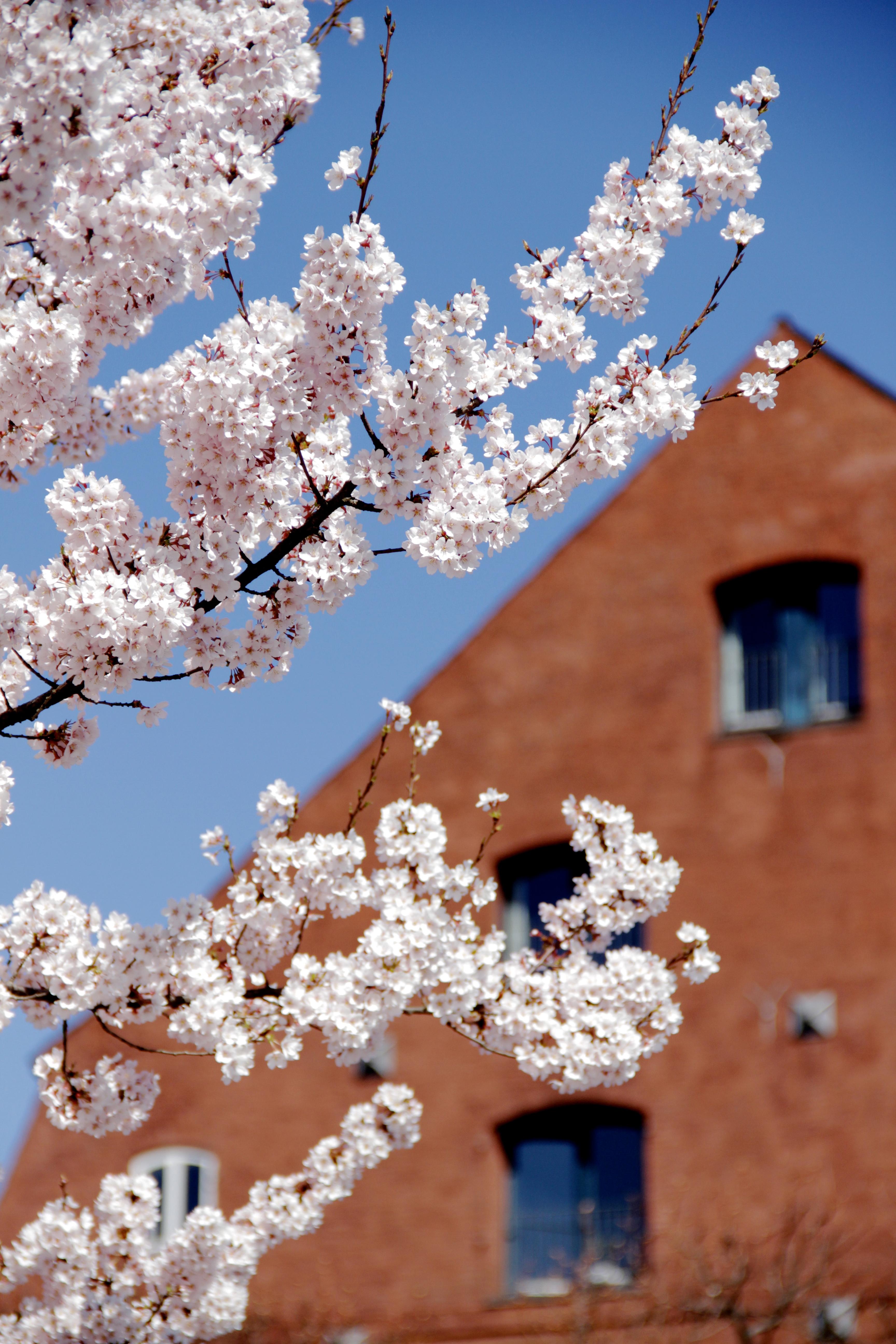 Copenhagen spring flowers