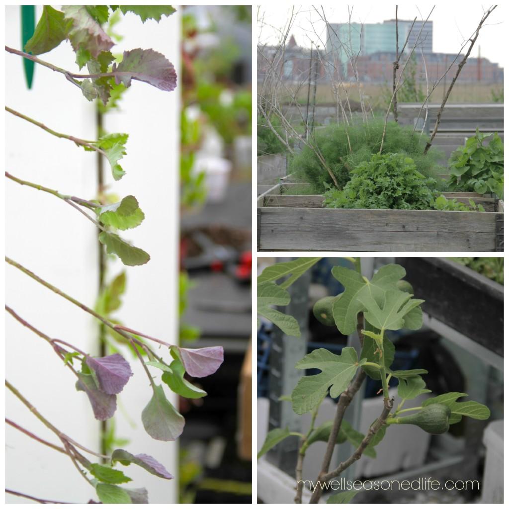 Amass garden