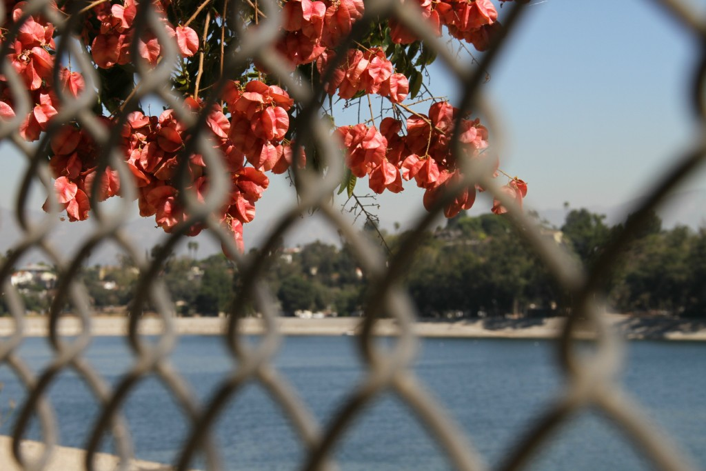 Bouganvilla and fence