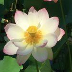 Lotus Festival Echo Park