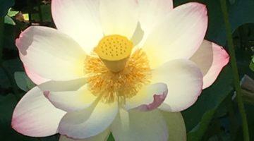 Lotus Blossom Echo Park